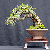 What is a bonsai?