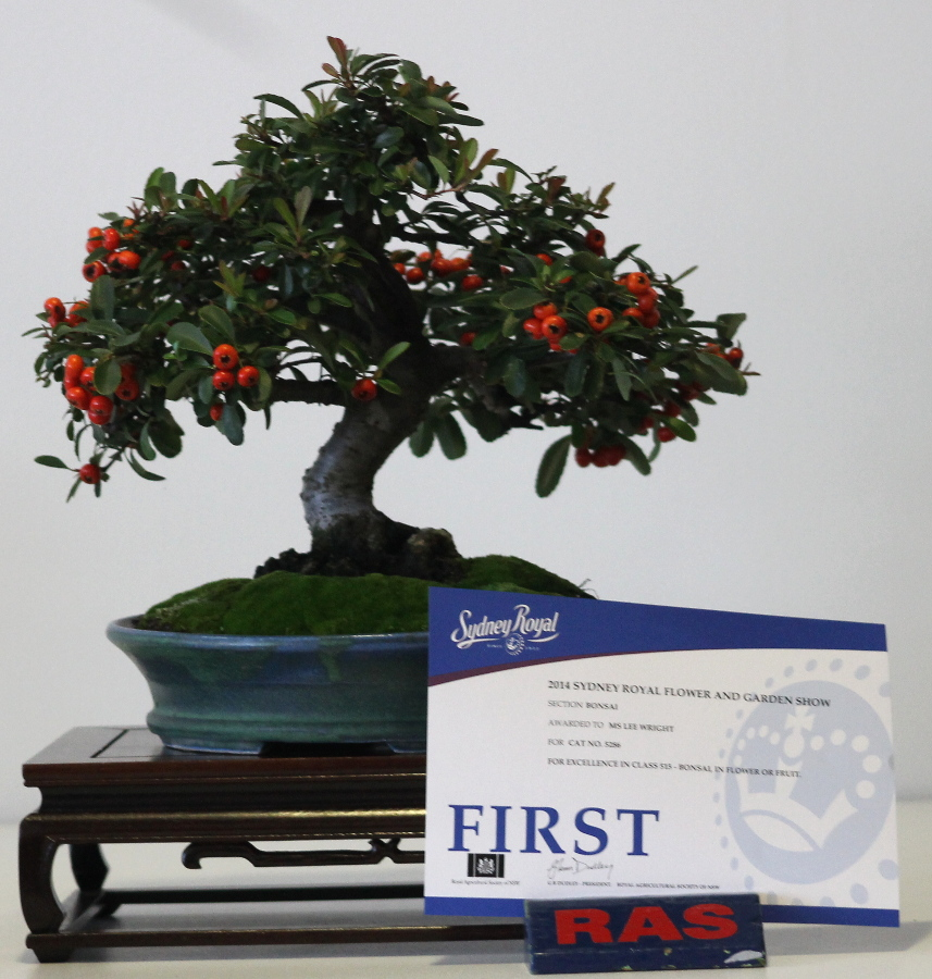 2014 Royal Easter Show - - Pyaracantha - Winning bonsai in flower or fruit