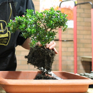 Bonsai Expert Brenda Parker Talks On How To Grow And Care For Azalea Bonsai Sydney City Bonsai Club