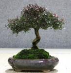Coastal tee tree, Leptospermum laevigatum