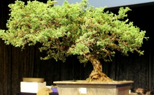 Advanced Juniper at commencement of restyle