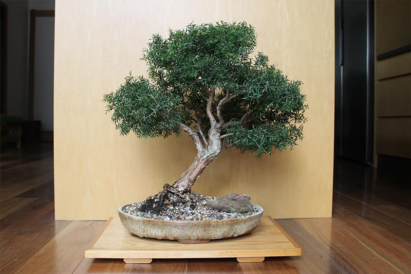 Melaleuca Bonsai - April 2019