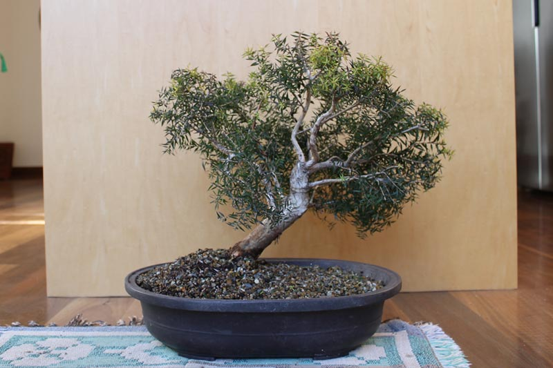 Melaleuca Bonsai October 2018